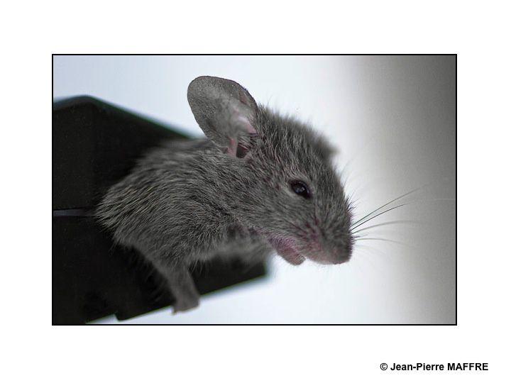 Quand une souris grise rencontre la souris d'un ordinateur.