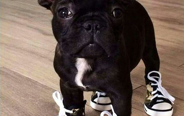 Funny and cute french bulldog puppies