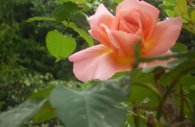 Rose de mi- octobre....