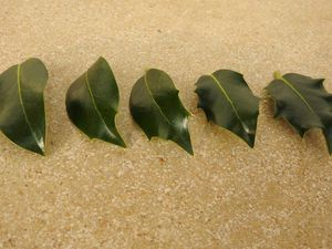 Hétérophyllie : des feuilles différentes sur un même rameau