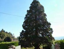 Séquoia de Croix Neuve