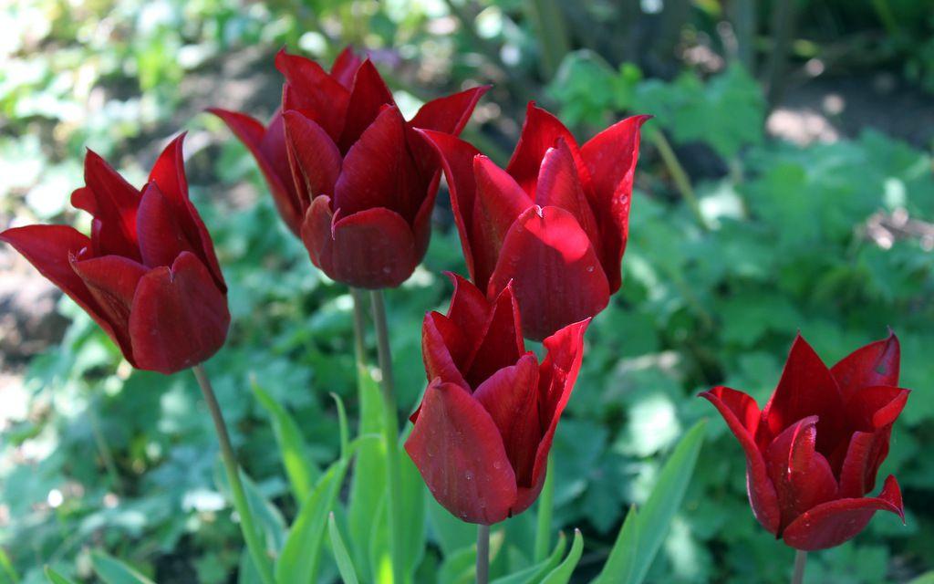 Défilé de tulipes,