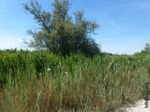 La sagne au bord du Rhône et sur le sentier du Vaccarès