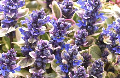 Un nouvel Ajuga: 'Princess Nadia'