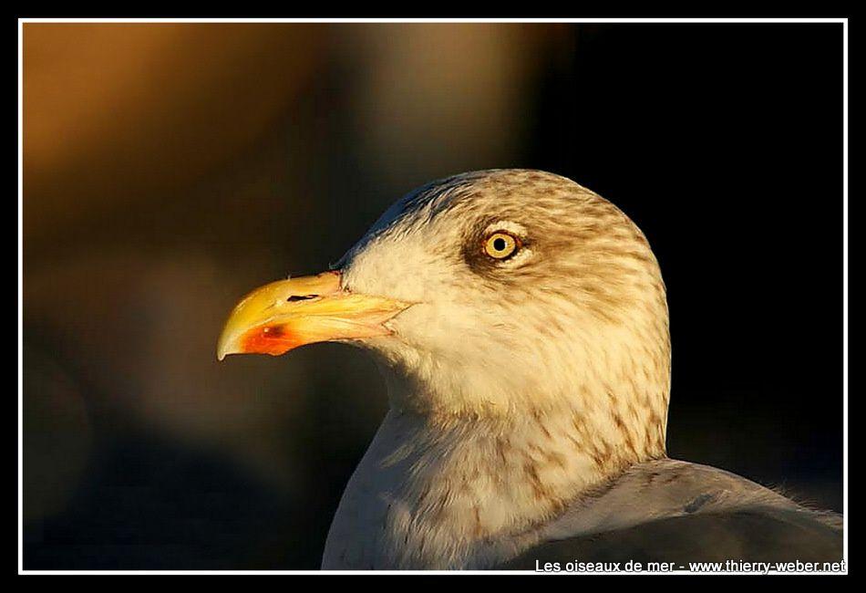 Les oiseaux de mer - Photos Thierry Weber Guérande La Baule
