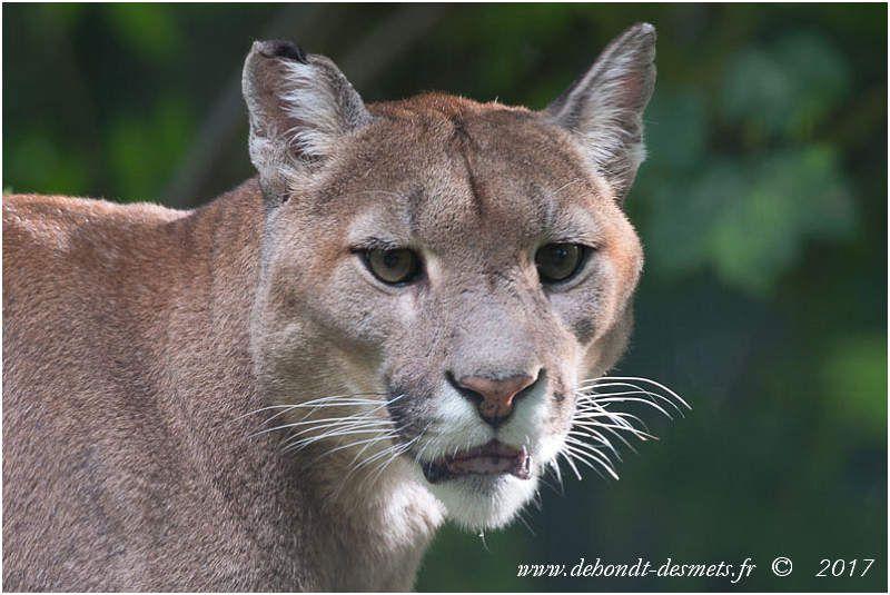 Le Puma est si fort qu'il peut tenir sa proie dans sa gueule et la jeter par-dessus l'épaule pour l'emporter !
