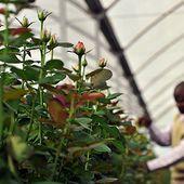 Les fleurs que vous achetez à la Saint-Valentin assèchent un lac au Kenya | Slate Afrique