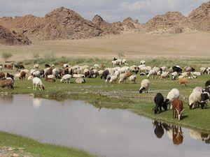 Le camp est envahi par un berger et ses chèvres.