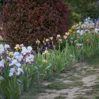 Ma balade à Chabeuil  aux iris du grand-barbu dans la Drôme