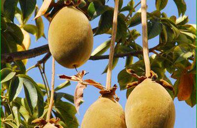 Fruit: Fruit du baobab