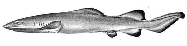 The most distinctive feature of the false catshark is its long, low first dorsal fin.