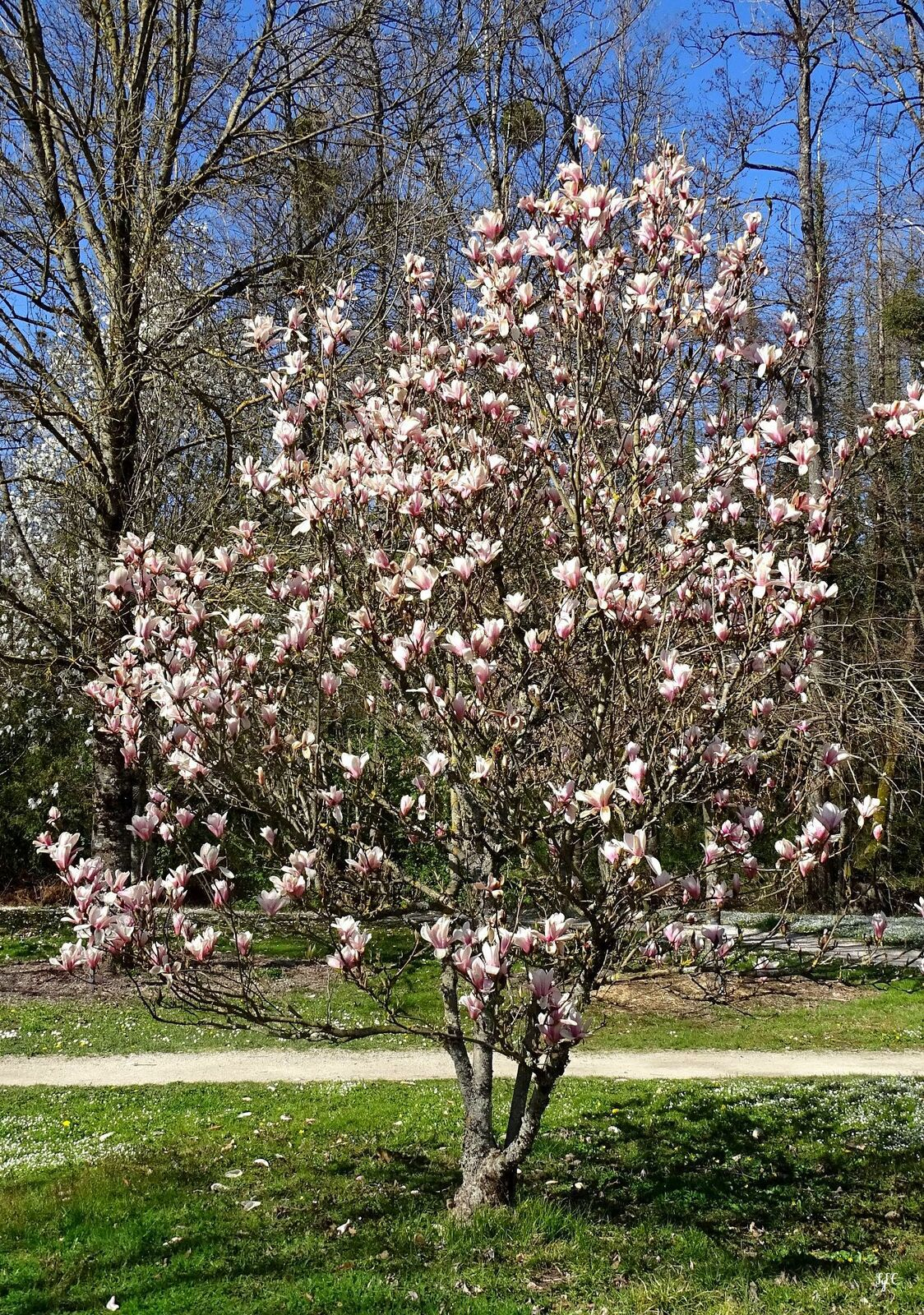 Arbres fleuris - 5 photos