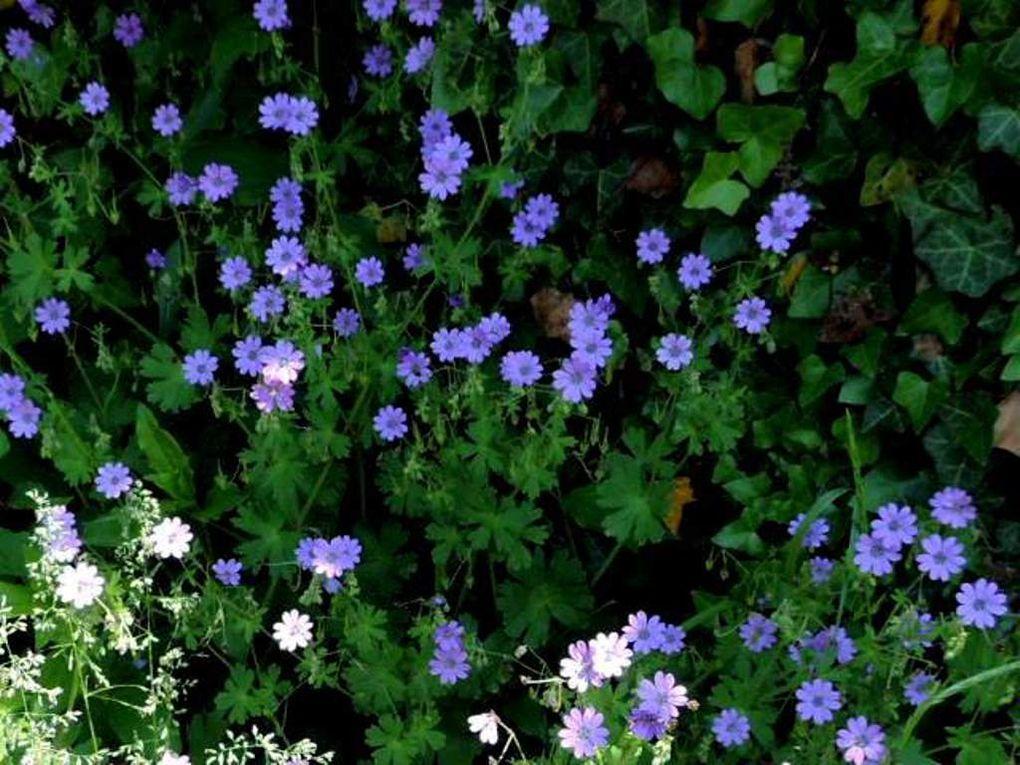 fleurs : Géranium des Pyrénées