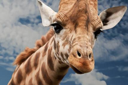 Pourquoi Vévé la Girafe ?