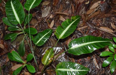 Heliconia densiflora