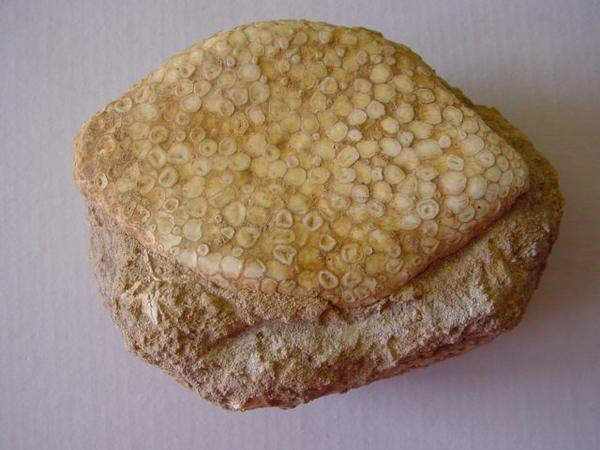 """<p></p> <p>Les poissons fossiles sont fossilisés soit sous forme fragmentaire, c-à-d dents, palais dentaires, rostres, épines soit sous forme plus ou moins complète.</p> <p>Les fossiles """"complets"""" sont sous forme squelettique en général, mais le Brésil l'Alsace et l'Allemagne fournissent des spécimens ayant lesécailles préservées.</p> <p>Toutes les pièces que vous pouvez admirer ici appartiennent àma collection privée.</p> <p>Bon amusement !</p> <p>Phil """"Fossil""""</p> <p></p>"""
