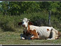 """Prendre en photo une vache qui semble me dire """"tu veux ma photo"""" ..."""