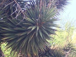 Yucca valida