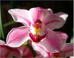 quelques fleurs d'orchidées.