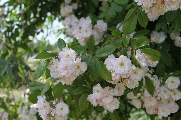 Découvrez le rosier liane 'Dentelle de Malines'