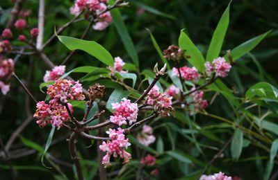 Arbustes à fleurs précoces au printemps : Viburnum, Groseillier à fleurs, Edgeworthia, Corylopsis