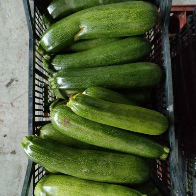 Courgettes bio 5kg 5€ vente directe à la ferme