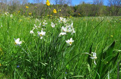 Flore de printemps / Balade en Haute-Loire