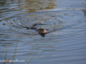 Beaucoup de ragondins dans l'eau de l'étang !