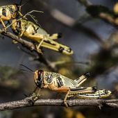 Italy locust invasion: Europe panic as worst swarm for 70 years hits continent