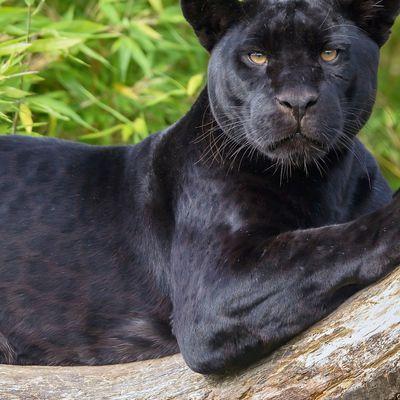 Panthère noire - Félin - Regard - Jungle - Photographie - Wallpaper - Free