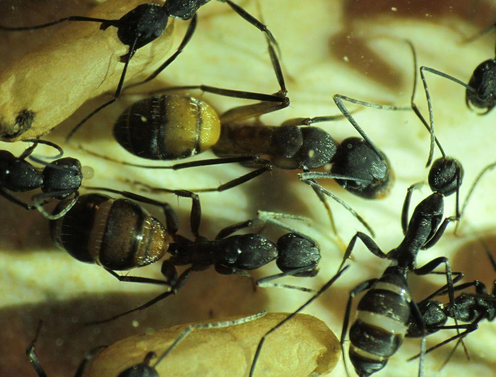 Album - Camponotus-cruentatus
