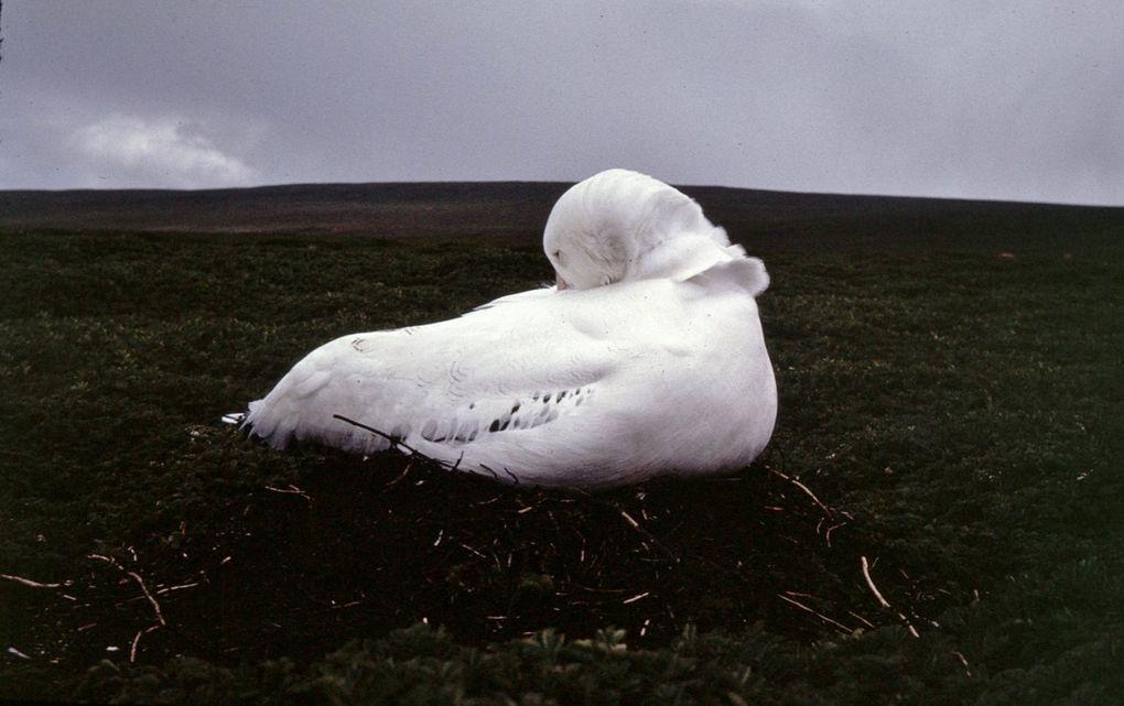 Albatros en train de couver, albatros sur son oeuf et retournant l'oeuf.