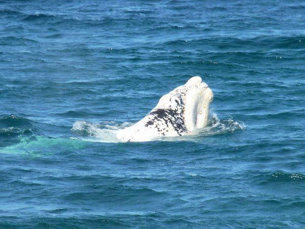 001 Baleines Franche Australe