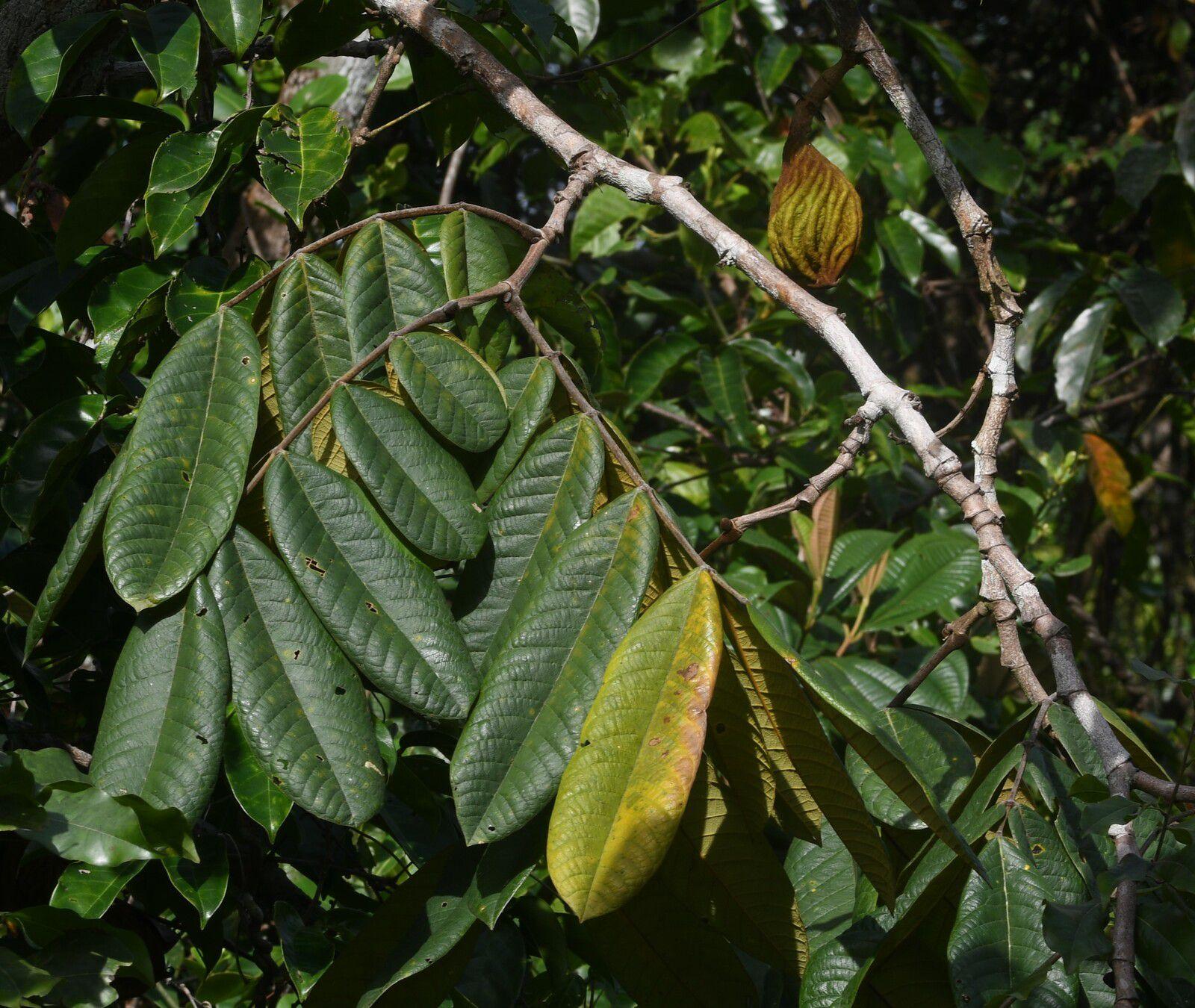 Swartzia panacoco var. sagotii
