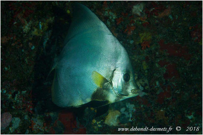 Platax à nageoires jaunes (Platax pinnatus) Les nageoires jaunes et le front concave permettent d'identifier cette espèce sans problème.