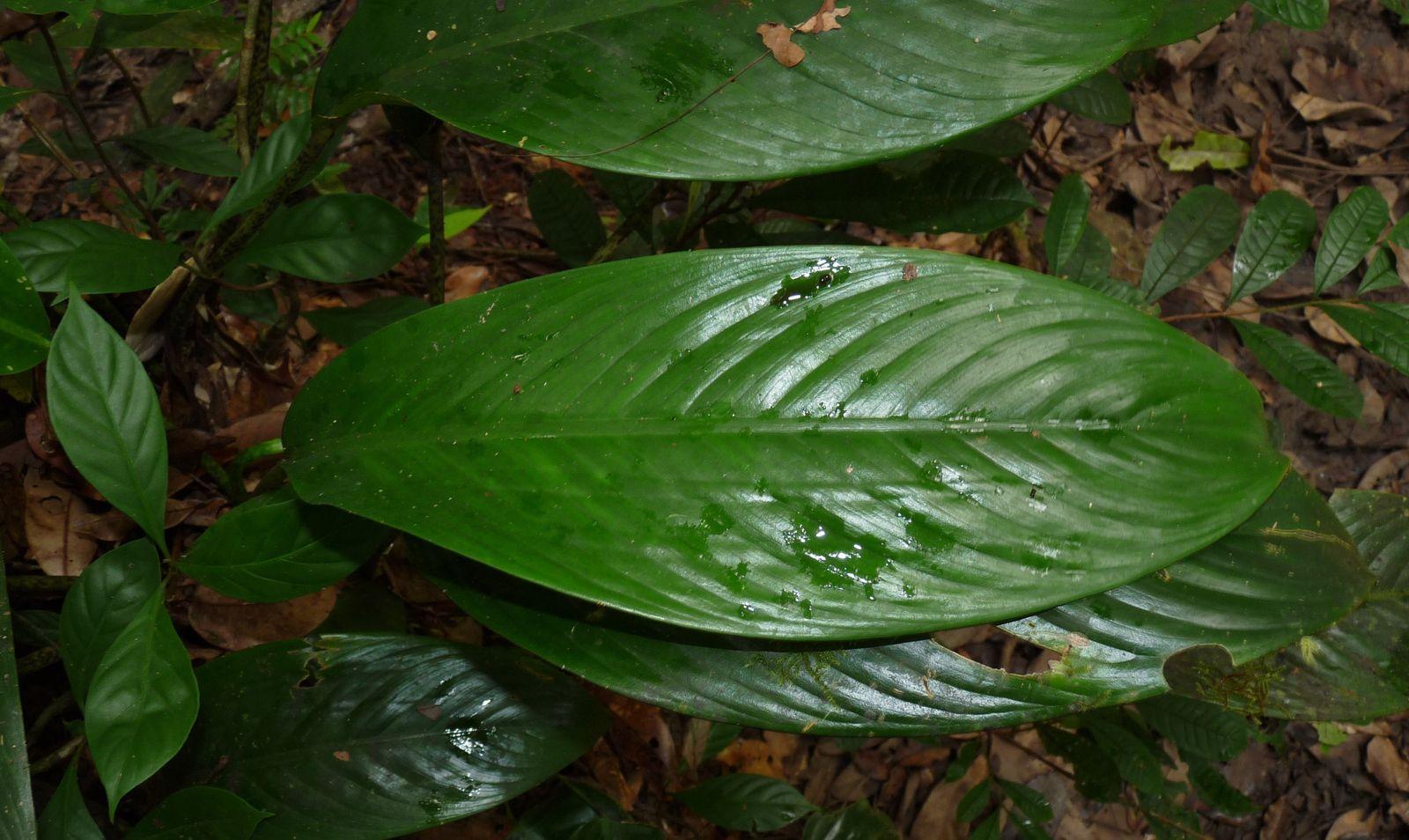 Dieffenbachia humilis