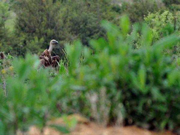 Les vautours à Tiergues