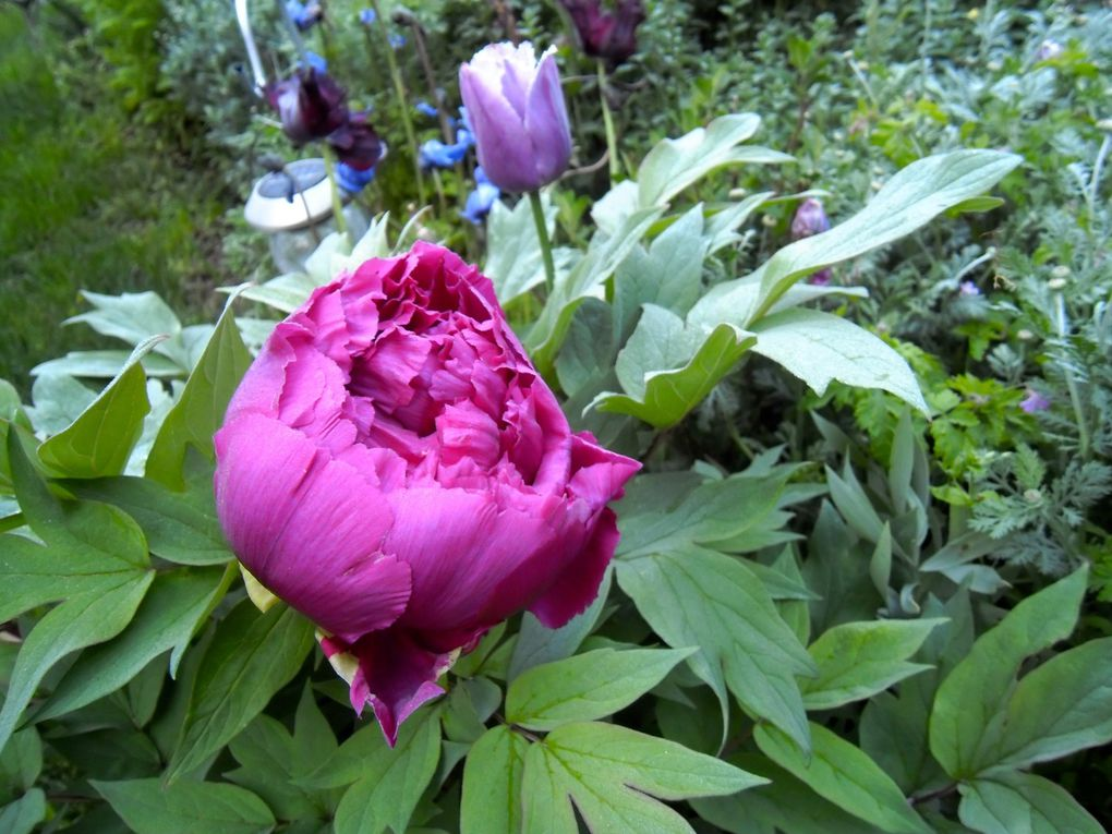 Paeonia suffruticosa 'Charming Garden' - fin avril