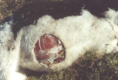 Ovni : Cas de bétail mutilé et boules de lumière en juin 2002