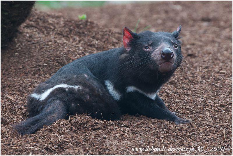 De la taille d'un chien, le diable de Tasmanie possède un corps trapu et puissant, doté d'une tête massive. Le mâle est plus grand que la femelle.