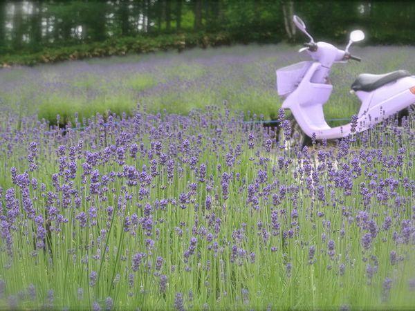 Hokkaido : Furano 富良野 : Les champs de lavande japonais!