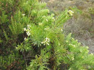 Plantes médicinales et aromatiques de Corse du Sud Juin 2017