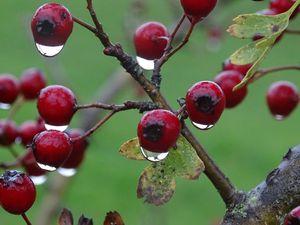 Balade sous la pluie aujourd'hui : les baies d'églantines, les cenelles d'aubépine et les prunelles feront le bonheur de plus d'un… Photos : JLS (Cliquez pour agrandir)
