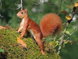 """Quand j'étais adolescente j'avais la chance d'habiter près d'une forêt. Il m'arrivait de me trouver face à un écureuil arrivé je ne sais comment sur le rebord de la fenêtre, située - il faut le préciser - en face d'un arbre massif et tout en hauteur. Quelle prouesse pour un athlète """"de poche"""" (ils font environ 300 g).  """"Alors admiration""""... comme chante Souchon dans une de ses chansons"""