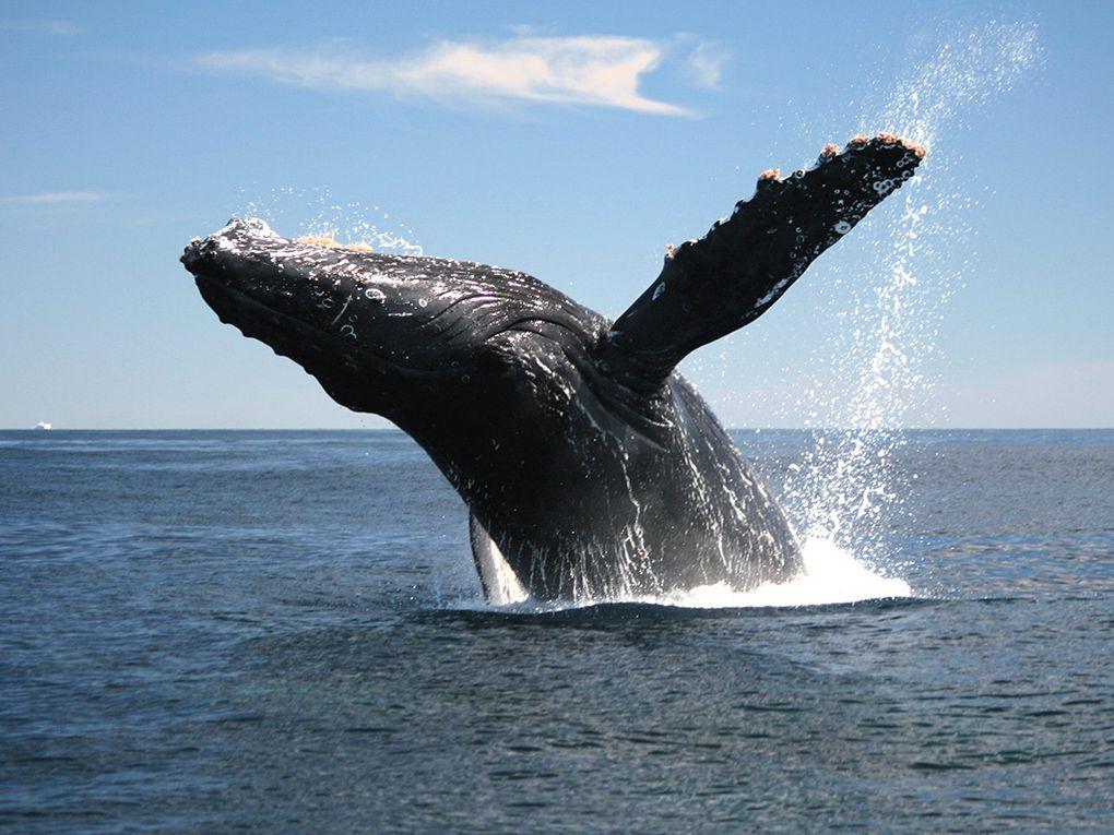 Imágenes de las ballenas de El Cabo, Sudáfrica.- El Muni.