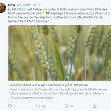 Le blé 'Renan' est un OGM...