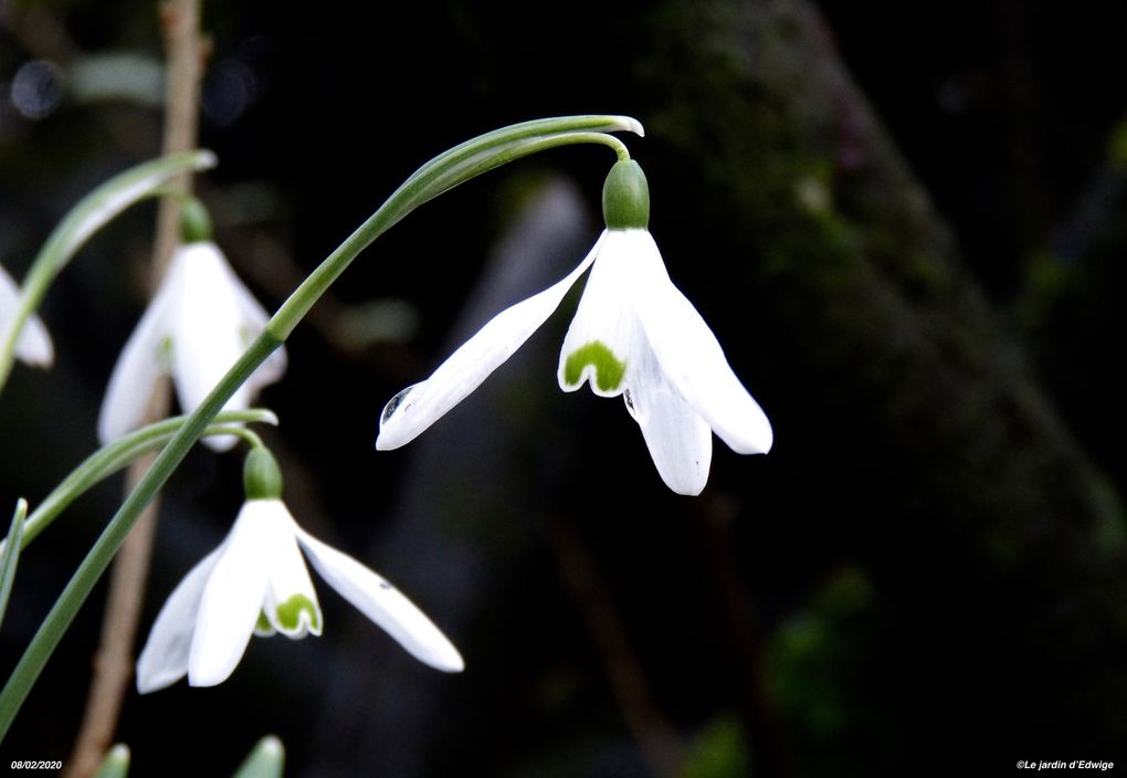 Perce-neige    Galanthus nivalis
