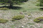 Observation du loup en randonnée en Ubaye