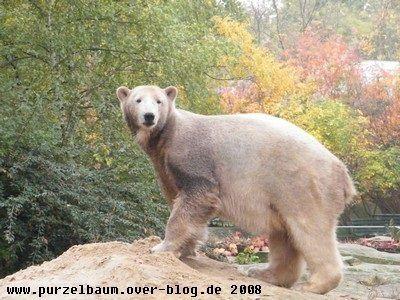 Knut am 25. Oktober 2008