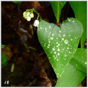 Muguet au Cœur... du 1er Mai